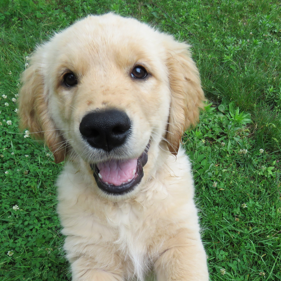 A golden retriever puppy sits and smiles on a patch of green grass.