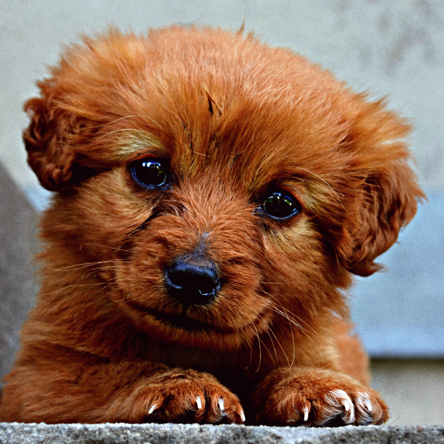 A small brown puppy has its front paws up.